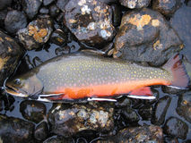 Brook trout on rocks Royalty Free Stock Photography
