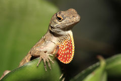 Closeup of Brown Anole with Throat Fan Extended Stock Images