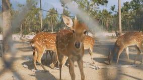 Baby Deer Eat Food in National Park against Palms. Closeup brown baby deer eat food in fenced area located in national park against exotic palm trees stock video footage