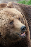 Closeup brown bear Royalty Free Stock Image