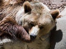 Closeup of  brown bear on stone Royalty Free Stock Photo