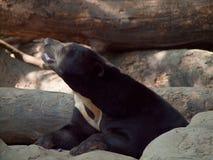 Closeup Brown bear in a zoo Stock Photos