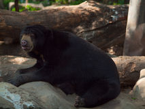 Closeup Brown bear in a zoo Royalty Free Stock Images