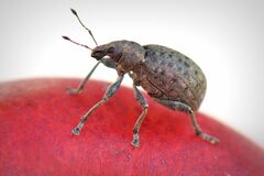 Closeup of brown beetle Royalty Free Stock Photography