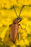 Closeup of a brown beetle on a bed of yellow flowers Royalty Free Stock Images