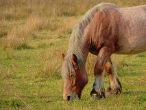 Portrait of a brown Belgian draft horse grazing in n Bourgoyen nature reserve, Ghent, Belgium, - caballus. Closeup of a brown Belgian draft horse grazing in a royalty free stock photos