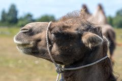 Closeup of a brown camel head with a white rope around its neck Royalty Free Stock Images