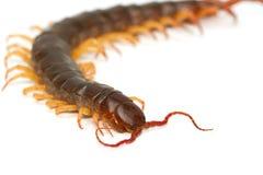 Closeup of brown centipede Stock Images