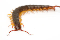 Closeup of brown centipede Royalty Free Stock Photo