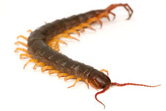 Closeup of brown centipede Royalty Free Stock Image