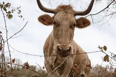 Closeup of a brown cow with a number on its ear grazing in a meadow in spring. Agriculture, breeding cattle concept. Closeup of a brown cow with big horns and a stock images