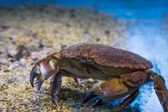 Closeup of a brown crab, a robust crustacean from the northern sea. A closeup of a brown crab, a robust crustacean from the northern sea stock image