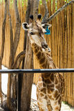 Closeup of Brown Giraffe in the zoo Royalty Free Stock Images