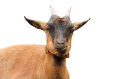 Closeup of brown goat Royalty Free Stock Photo