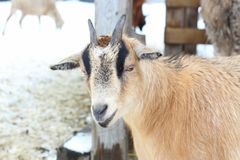 Closeup of brown goat Royalty Free Stock Images