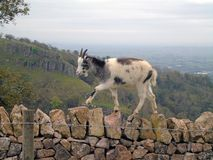Feral Goat Climbing Stone Wall, Cheddar Gorge, Somerset, UK. Closeup of brown goat in the wild standing on a wall with landscape of Somerset in the background royalty free stock photography
