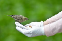 A closeup of Brown-headed Cowbird feeding from a hand. royalty free stock images