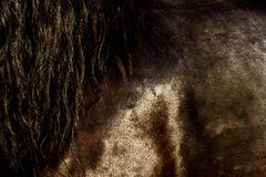 Closeup of Brown Horse Coat and Sweat Stock Photography