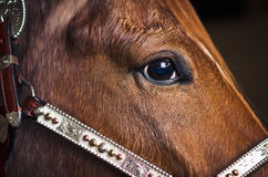 Closeup of brown horse face. Horse eye detail looking forward Stock Image