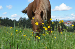 Closeup of Brown Horse Grazing in a Field Royalty Free Stock Photos
