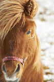 Closeup of brown horse on a winther day Stock Images