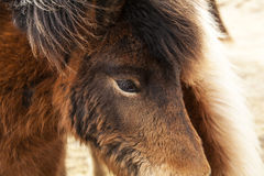 Closeup of brown Icelandic ponies Stock Photo