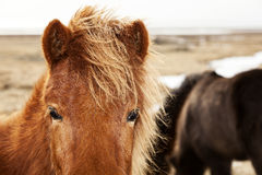 Closeup of a brown Icelandic pony Stock Image