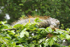 Closeup brown Iguana Royalty Free Stock Photo