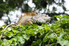 Closeup brown Iguana Stock Photography