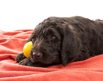 Closeup of a Brown Labradoodle Stock Image
