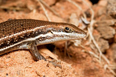 Closeup of a brown lizard Royalty Free Stock Images