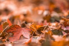 Brown and orange leaves in pile during Autumn. Selective. Closeup brown and orange leaves in pile during Autumn. Selective focus with copy space stock photos