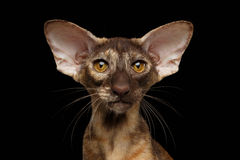 Closeup Brown Oriental Cat With Extremal Big Ears, Black Isolated Stock Image