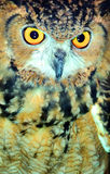 Closeup  of a brown owl Royalty Free Stock Photo