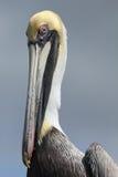 Closeup of Brown Pelican Stock Image