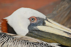 Closeup of Brown Pelican, Florida. The brown pelican is a prominent feature of the Gulf coast seaside. Many pelicans are seen around tourist coastal cities in Stock Photos