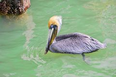 Brown Pelican With Yellow Head Swim,ing In Saltwater Royalty Free Stock Images