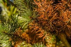 Closeup of brown pine needles Royalty Free Stock Photos
