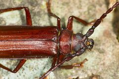 Closeup of brown prionid beetle crawling across bark in Connecti Royalty Free Stock Photos