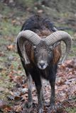 Closeup of a brown ram in a forest in Germany stock image