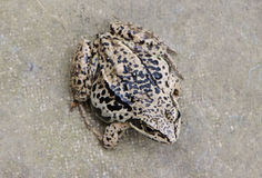 Closeup of brown rana frog amphibian black spot Royalty Free Stock Photography