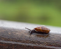 Closeup of brown snail Royalty Free Stock Photo