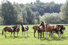 Closeup of brown spotted horses in dutch meadow in holland Royalty Free Stock Images