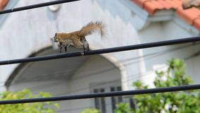 Closeup of brown squirrel running on the cable. A closeup of brown squirrel running on the cable with house in the background royalty free stock images