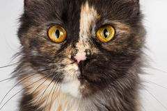 Closeup brown tortoiseshell  Maine Coon cat looking in camera. Closeup brown tortoiseshell Maine Coon cat looking in camera on white background Royalty Free Stock Photo