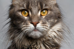Closeup brown tortoiseshell Maine Coon cat looking in camera. On white background Stock Photos