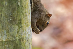 Closeup of brown tree Squirrel biting hard shell nut on the tree Stock Photography