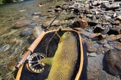 Closeup of brown trout caught in landing net Stock Photo