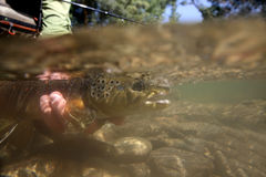 Closeup of brown trout under water Royalty Free Stock Photos