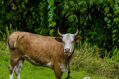 Closeup of a brown and white heifer Stock Images